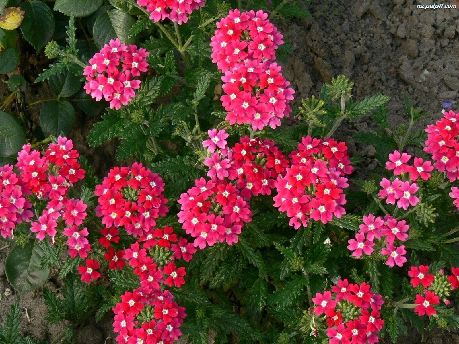 Werbena werbena zwisaj ca r owofioletowa 3971143709 - Plantas para jardineras al sol ...